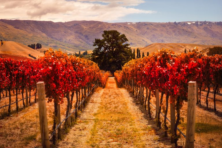 Autumn view of vineyard rows with the tree, New Zealand