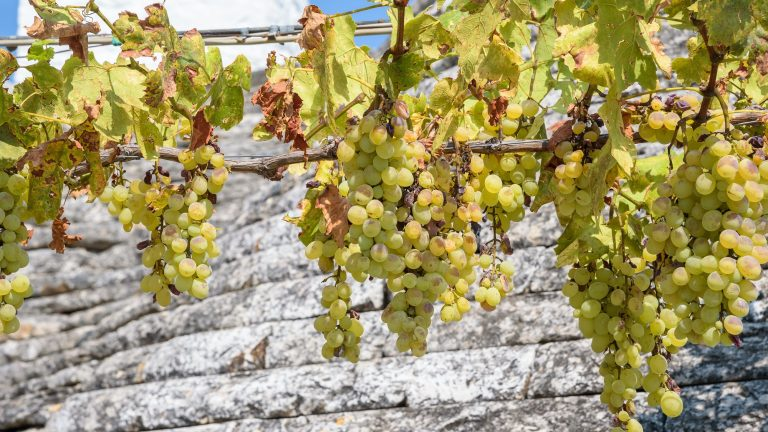 White vines with grapes