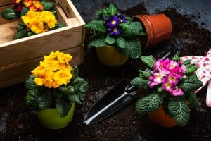 Colorful Blooming Primrose or Primula and Gardening Tools. Early Spring Activity Concept Background