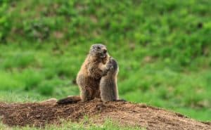 Female marmot with young