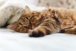 Ill cat lying with high temperature