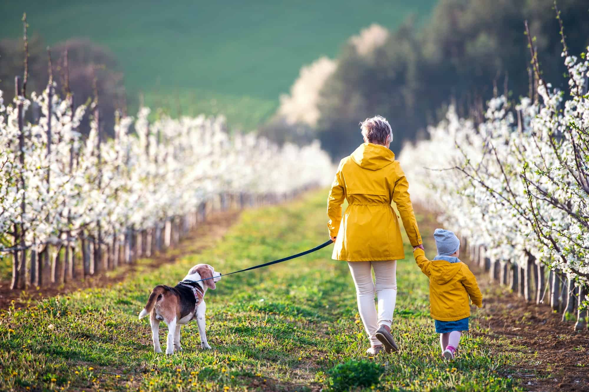 Rear view of senior grandmother with granddaughter walking in orchard in spring.