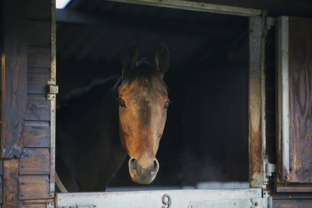 A thoroughbred bay horse, head of the animal, looking out of a stable.