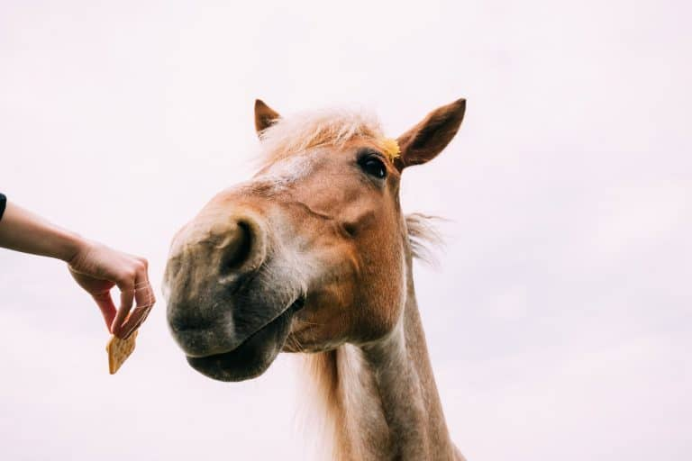 Close Up Of Funny Portrait On Wide Angle Lens Of Horse On White